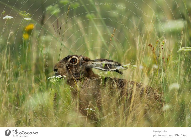 wild hare hiding in big grass Nature Green Animal Meadow Natural Grass Gray Brown Wild Cute European Hunting Delightful Mammal Hare & Rabbit & Bunny Rodent