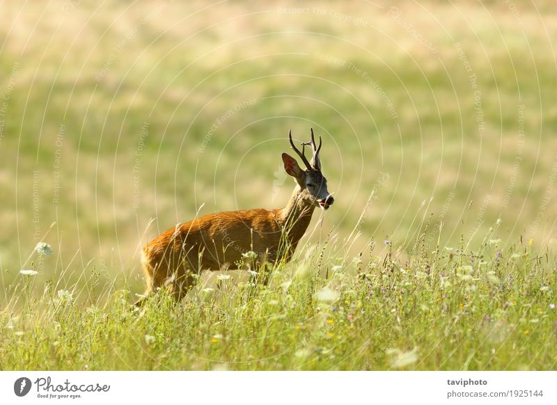 wild roe deer buck on natural meadow Beautiful Playing Hunting Summer Man Adults Nature Landscape Animal Grass Meadow Forest Fur coat Natural Cute Wild Brown