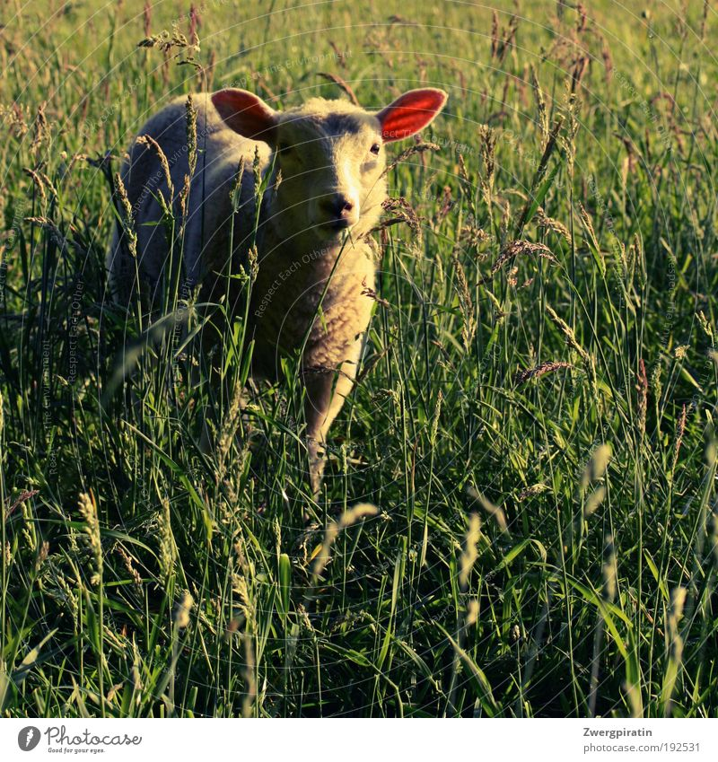 lawn mower Nature Summer Beautiful weather Grass Meadow Animal Farm animal Pelt Sheep Lamb To feed Stand Happy Cuddly Curiosity Soft Green White Love of animals