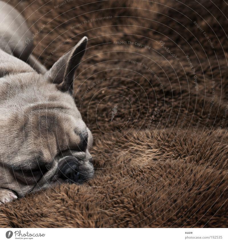 dog's life Animal Pelt Pet Dog 1 Sleep Dream Authentic Cuddly Small Cute Brown Loyalty Mastiff Rest Doze Snout Mammal Watchdog Blanket Animal face