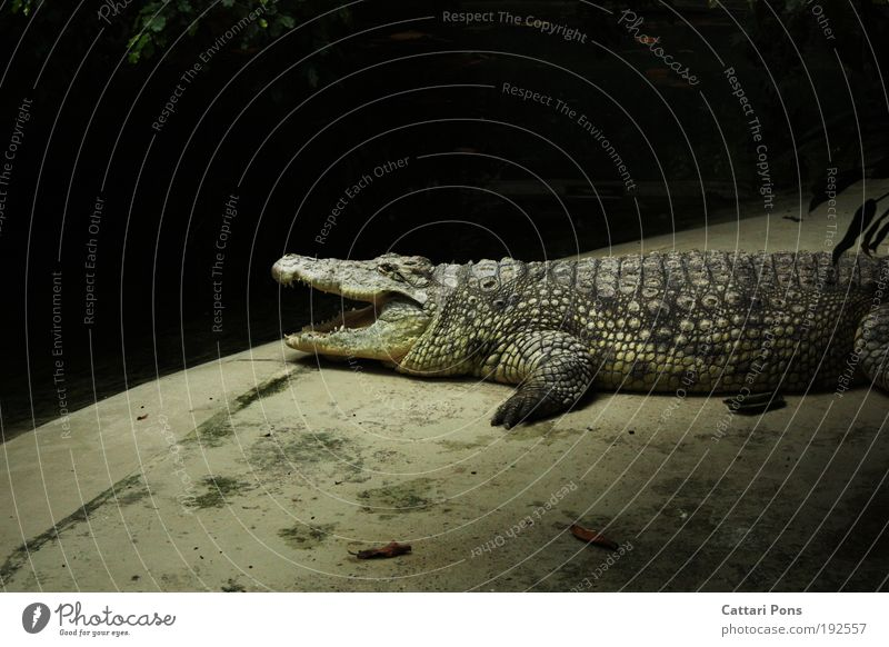 temporize Animal Wild animal Zoo Crocodile 1 Wait Gray Interior shot Flash photo Light Animal portrait Profile