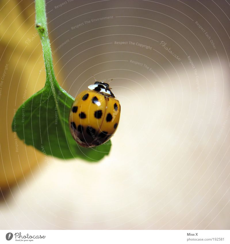 lucky beetle Spring Plant Leaf Pot plant Balcony Terrace Animal Beetle 1 Flying Happy Small Beautiful Emotions Spring fever Good luck charm Ladybird Point
