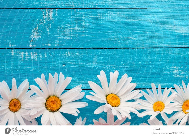 Buds large white daisies on a blue wooden surface Nature Old Plant Blue Summer White Flower Yellow Wood Vantage point Blossoming Top Blossom leave Daisy Horizontal Banner