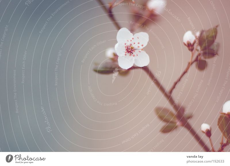 flower magic Nature Plant Flower Leaf Blossom Beautiful Soft Harmonious Cherry blossom Twig Spring May June Colour photo Subdued colour Exterior shot Deserted