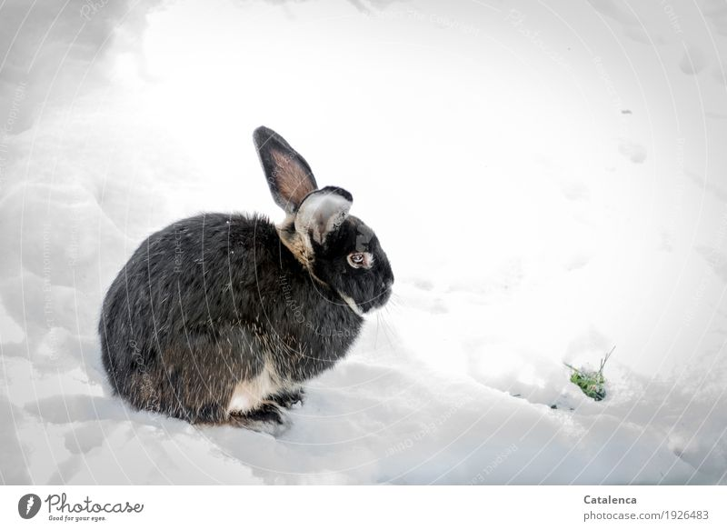 Sweet cute rabbit Nature Plant Animal Winter Climate Snow Grass Garden Hare & Rabbit & Bunny 1 Observe Discover Crouch Free Happiness Beautiful Cuddly Cute