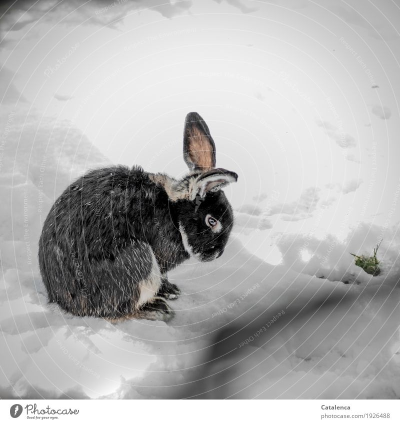 rabbit Nature Plant Animal Winter Snow Grass Meadow Pet Hare & Rabbit & Bunny 1 Observe Crouch Wait Beautiful Cold Cuddly Cute Pink Black White Moody