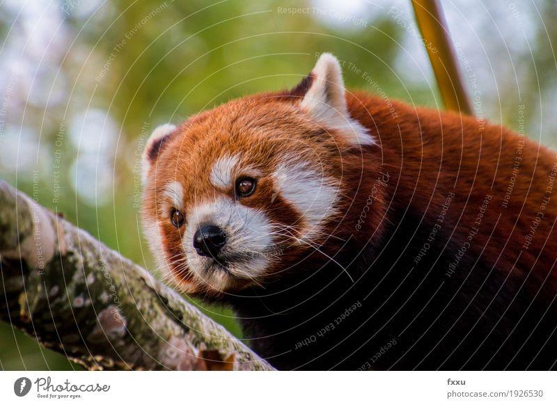 red panda Nature Animal Wild animal Pelt Zoo Happy Joie de vivre (Vitality) Colour photo Exterior shot Deserted Day Blur Deep depth of field Portrait photograph