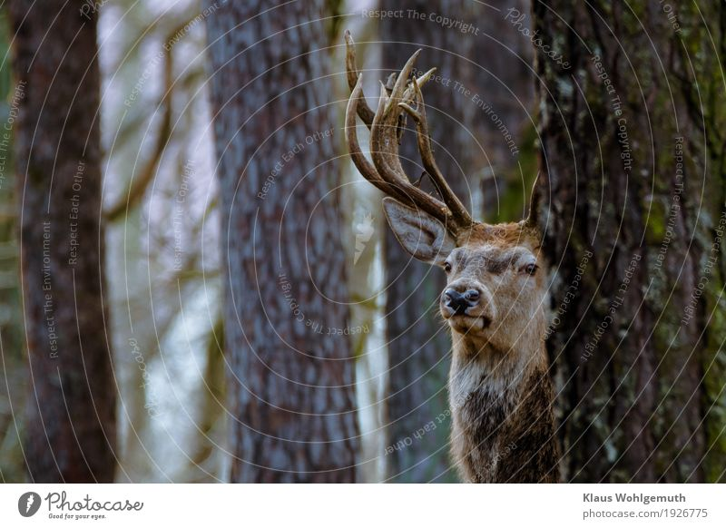 majesty Zoo Environment Nature Animal Autumn Winter Tree Forest Pelt Deer Red deer cervus elapsus 1 Observe Hunting Looking Curiosity Brown Gray Antlers
