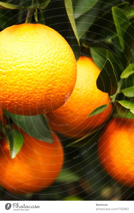 O Orange Fruit Citrus fruits Orange juice Orange tree orange fruit Tree Fresh Juice Orange peel Leaf Blur Depth of field 4 Hang Suspended Orange plantation