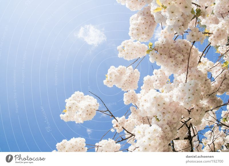 Spring? Nature Plant Cloudless sky Beautiful weather Fresh Bright Blue Pink White Cherry blossom Sunlight