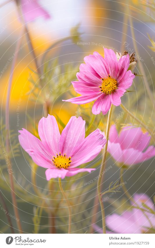 Jewelry baskets (Cosmea, Cosmos) Elegant Design Arrange Decoration Wallpaper Image Poster Card Nature Plant Sunlight Summer Autumn Beautiful weather Flower