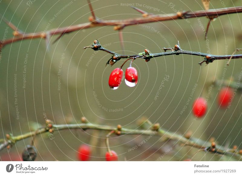 In the rain Environment Nature Plant Elements Water Drops of water Autumn Bad weather Rain Bushes Fluid Near Wet Natural Brown Green Red Black Rose hip