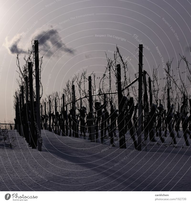 Mono Culture Environment Nature Landscape Sunlight Winter Snow Agricultural crop Field Silver White Wine growing Vineyard Monoculture Row Agriculture Cold