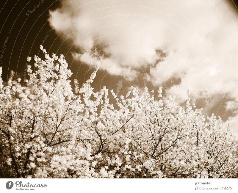 cherry blossom Cherry blossom Tree Blossom Duplex sunny day