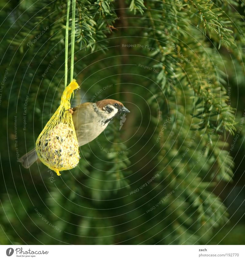 Nature Tree Green Plant Winter Nutrition Animal Spring Garden Contentment Bird Break Appetite To feed Feeding Sparrow