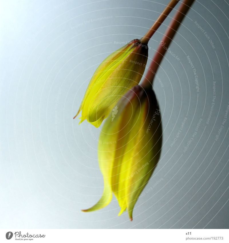 Nature Beautiful Plant Flower Yellow Blossom Spring Park Power Elegant Fresh Esthetic Authentic Point Near Tulip