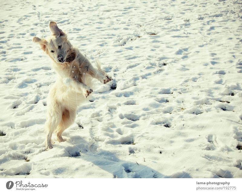 snow hare Nature Winter Beautiful weather Snow Animal Pet Dog Golden Retriever 1 Snow ball Playing Jump Free Happiness White Joy Walk the dog Colour photo