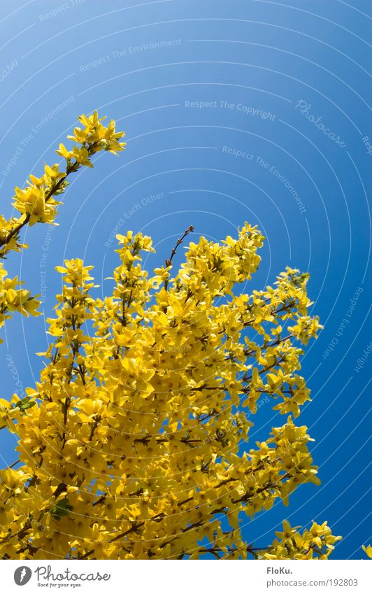 Nature Beautiful Sky Blue Plant Yellow Colour Relaxation Blossom Spring Happy Bright Glittering Weather Environment Happiness
