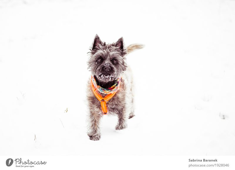 Cairn Terrier in the snow Animal Pet Dog Animal face Pelt Paw 1 Walking Playing Esthetic Cool (slang) Cold Cuddly Small Funny Curiosity Positive Rebellious