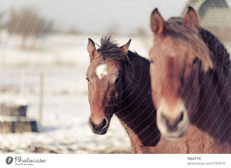 Blue White Animal Black Brown Elegant Wild Pair of animals Cool (slang) Horse Farm animal Herd Feeding