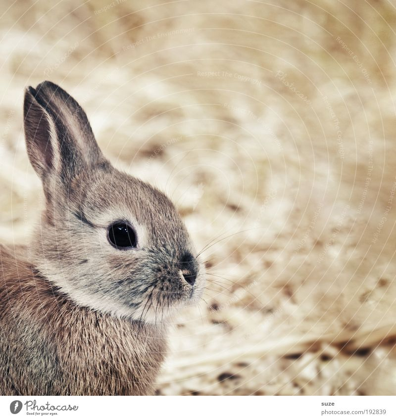 Animal Small Brown Cute Soft Ear Pelt Animalistic Pet Mammal Hare & Rabbit & Bunny Straw Love of animals Barn Easter Bunny Looking