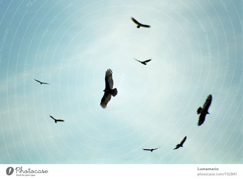 Sky Animal Environment Death Flying Moody Bird Air Wild animal Wait Dangerous Group of animals Circle Threat Might Watchfulness