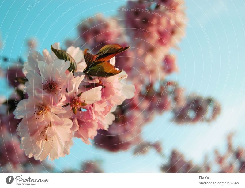 cherry blossom Environment Nature Plant Sky Cloudless sky Sunlight Spring Beautiful weather Tree Blossom Warmth Blue Pink White Happy Anticipation Cherry tree