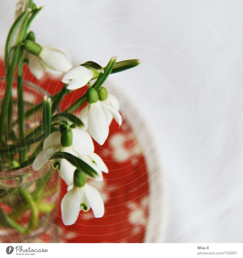 In the vase Living or residing Decoration Nature Spring Plant Flower Blossom Fresh Beautiful White Snowdrop Table Vase Colour photo Multicoloured Interior shot