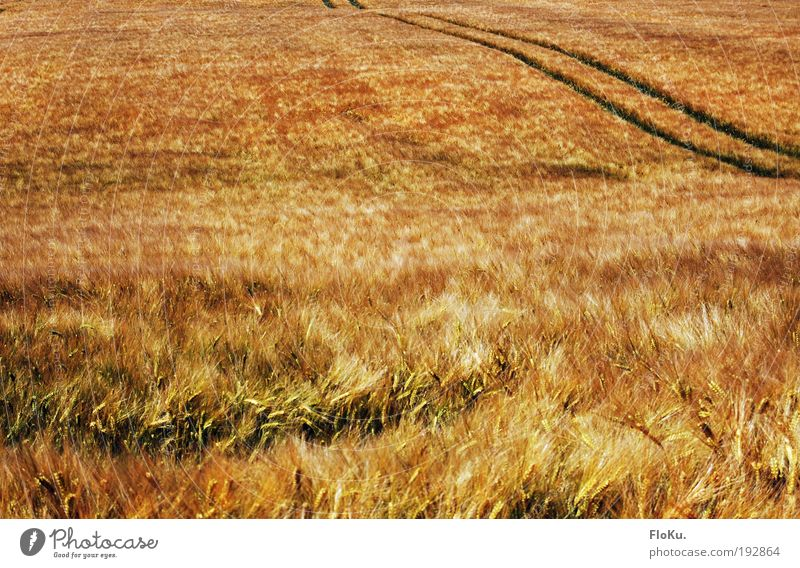 Nature Plant Summer Yellow Autumn Meadow Grass Landscape Field Glittering Wind Food Environment Gold Tracks Natural
