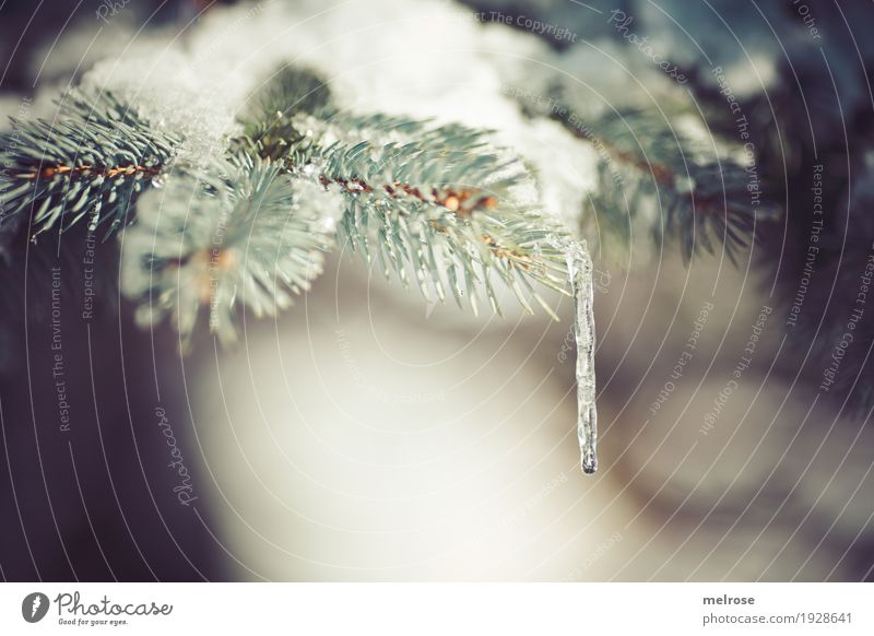 ice lollipop Icicle Winter Snow Winter vacation Hiking Nature Drops of water Climate Weather Beautiful weather Ice Frost Tree Fir branch Twigs and branches