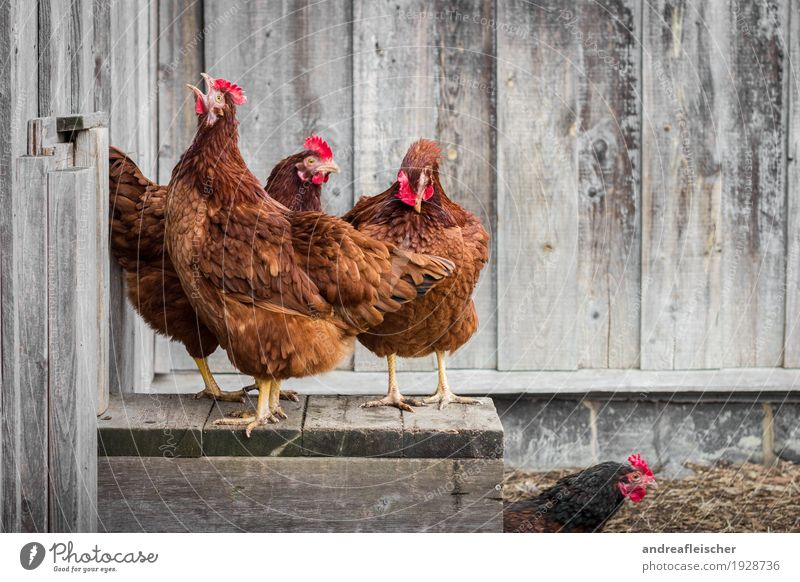 Chickens can crow too. Food Meat Organic produce Healthy Healthy Eating Leisure and hobbies Garden Easter Agriculture Forestry Environment Animal Farm animal