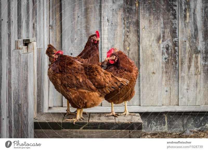 These hens can pose. Food Meat Lifestyle Healthy Leisure and hobbies Playing Garden Easter Animal Farm animal 3 Group of animals Stand Gamefowl Chicken coop