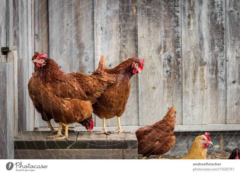 Chicken Squad Animal Farm animal Bird Group of animals Stand Muddled Peck Looking Curiosity Gamefowl Chicken coop Barn Organic farming Agriculture
