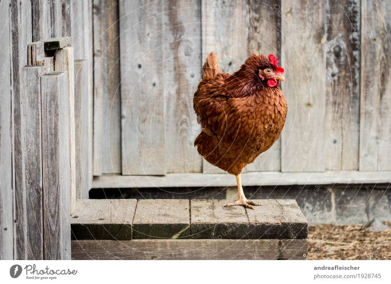 Happy chickens can also stand on one leg Food Meat Organic produce House (Residential Structure) Garden Easter Thanksgiving Agriculture Forestry Animal