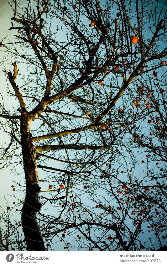Nature Beautiful Sky Tree Plant Red Winter Snow Autumn Landscape Environment Fruit Apple Beautiful weather Muddled Twigs and branches