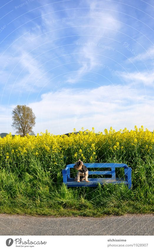 Blue Bench Cool Dog Air Sky Summer Beautiful weather Flower Village 1 Animal To enjoy Sit Caution Serene Canola field Yorkshire terrier Tree Field Colour photo