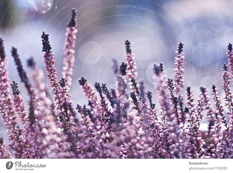 Nature Beautiful White Flower Plant Calm Pink Violet Blur Environment Pot plant