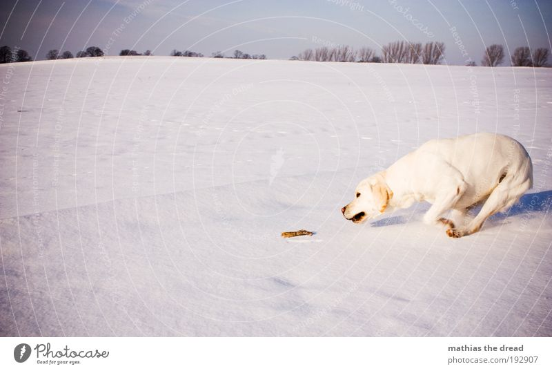 play instinct Environment Nature Landscape Cloudless sky Winter Beautiful weather Ice Frost Snow Tree Meadow Field Animal Pet Dog 1 Playing Jump Athletic Cold