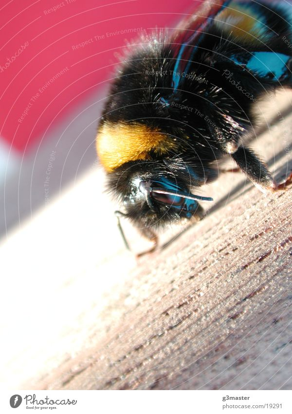 bumblebee Bumble bee Beach chair Vacation & Travel Spiekeroog Sun Macro (Extreme close-up)