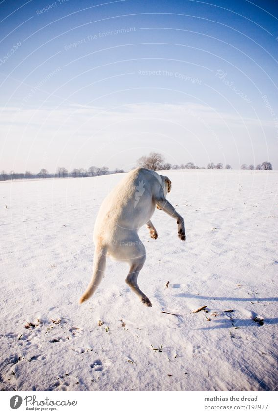 FLYING DOG Environment Nature Landscape Sky Horizon Winter Beautiful weather Snow Meadow Field Animal Pet Dog 1 Movement Laughter Playing Jump Uniqueness Cold