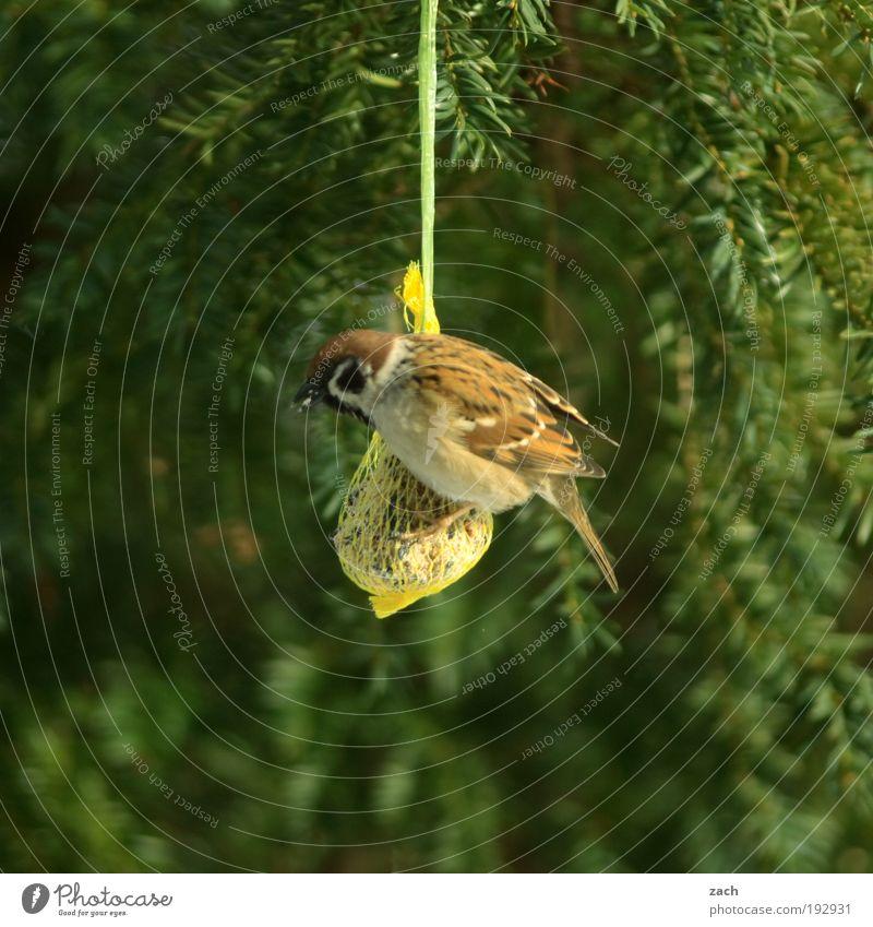 weekend shopping Nature Plant Animal Winter Tree Bird Sparrow To feed Feeding Green Voracious Birdseed Coniferous trees Colour photo Exterior shot Deserted