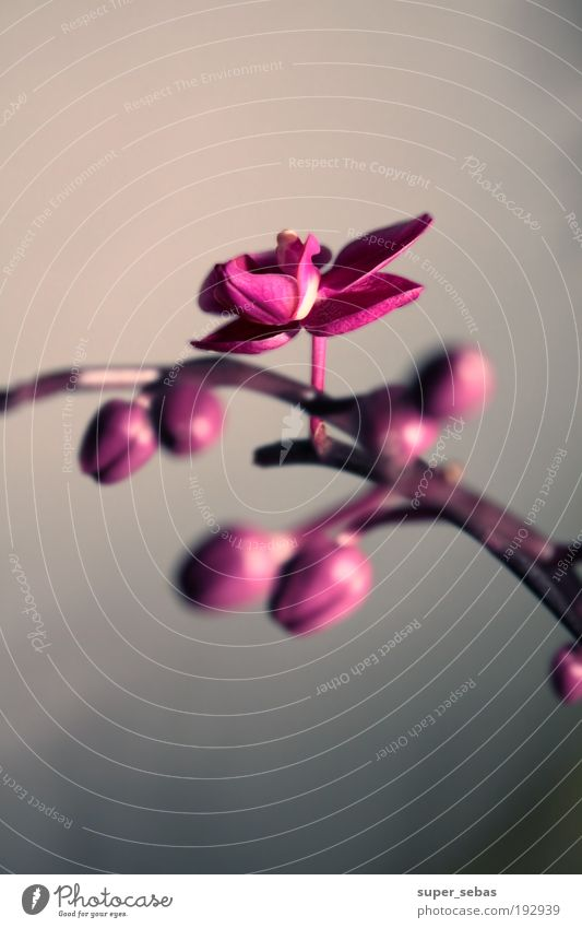 orchidaceae Plant Flower Orchid Blossom Blossoming Beautiful Colour photo Close-up Neutral Background