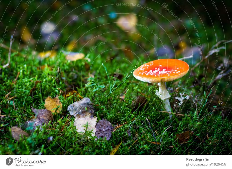 fly agaric Nature Plant Autumn Moss Wild plant Forest Red Amanita mushroom Poison Colour photo Multicoloured Exterior shot Close-up Deserted Copy Space left Day