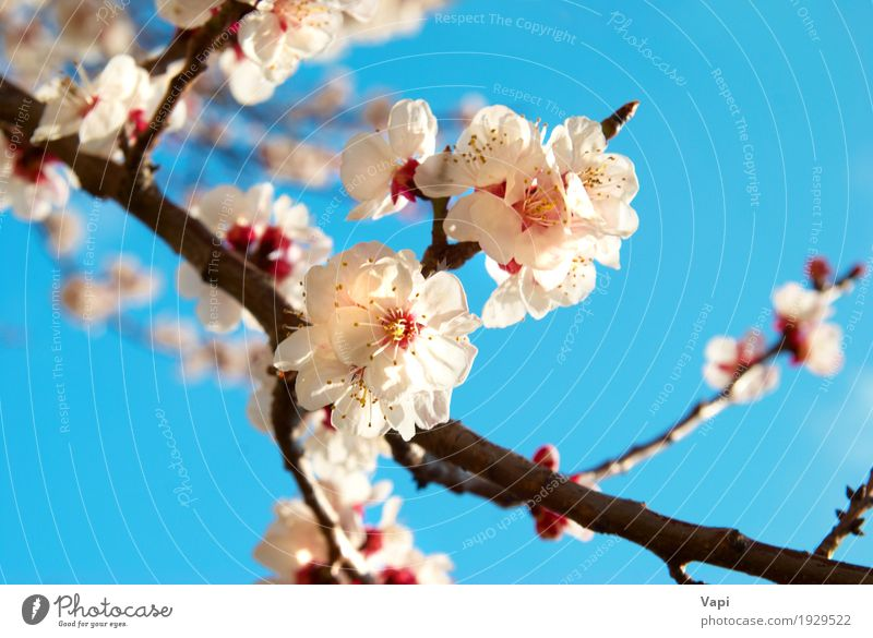 White apricot flowers Summer Sun Garden Environment Nature Landscape Plant Sky Cloudless sky Spring Beautiful weather Tree Flower Leaf Blossom Park Fresh Bright