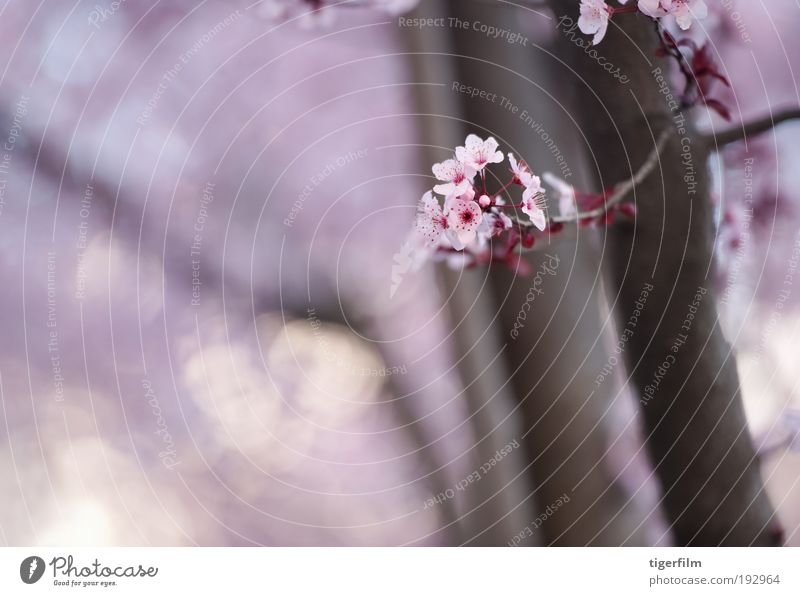 spring blossom Nature Beautiful Tree Flower Lamp Blossom Spring Pink Background picture Branch Shallow Spring day