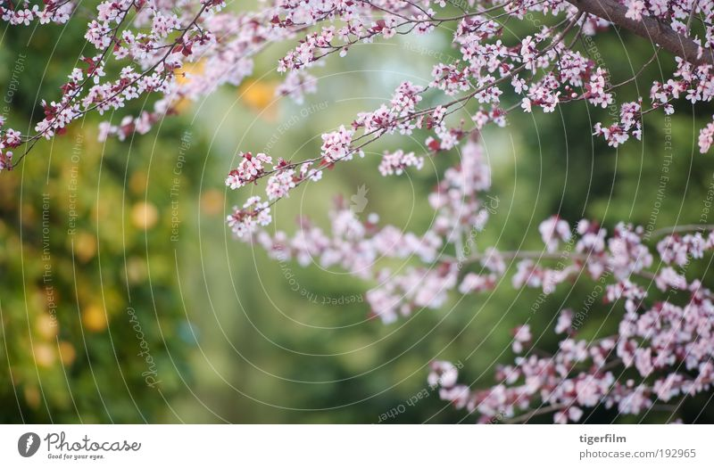 blossom and orange Blossom Tree Branch Orange Pink Blur Background picture Beautiful Nature Flower Spring Spring day Abstract depth Shallow focus Fruit