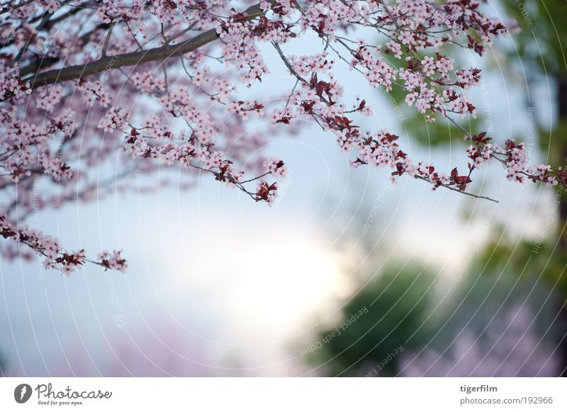 spring day Nature Beautiful Tree Flower Lamp Blossom Spring Pink Background picture Branch Seasons Holiday season Abstract Plant Shallow