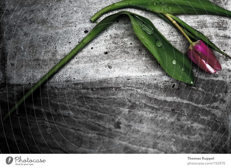 sad tulip Plant Flower Tulip Foliage plant Wall (barrier) Corner Stone Concrete Lie Sadness Sharp-edged Simple Wet Gray Green Violet Pink Emotions Moody Concern