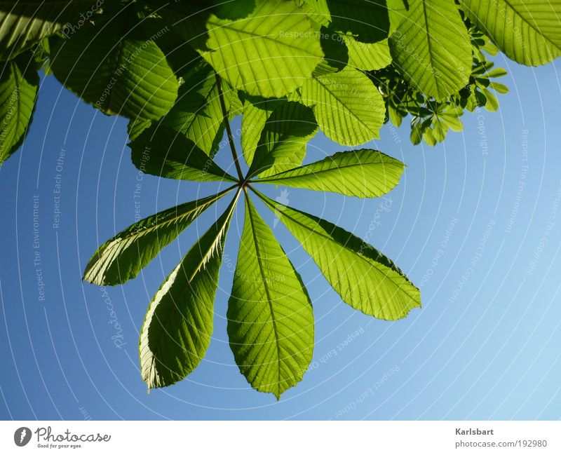 lenz. Harmonious Summer Environment Nature Plant Sky Sunlight Spring Beautiful weather Tree Leaf Green Growth Chestnut tree Chestnut leaf Spring fever