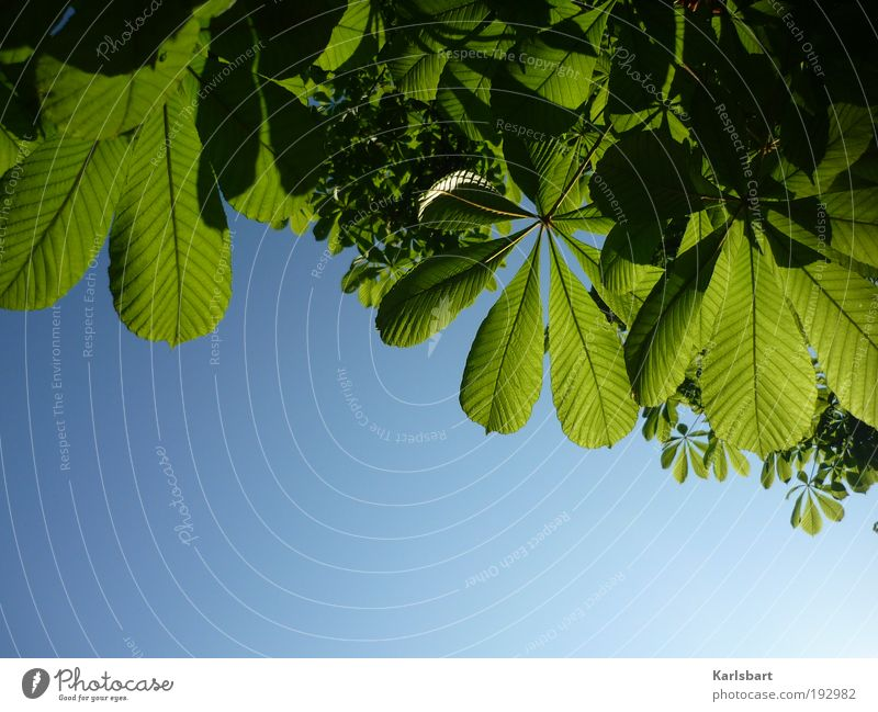 Sky Nature Green Beautiful Tree Plant Summer Leaf Environment Life Spring Growth Beautiful weather Harmonious Chestnut tree Chestnut leaf